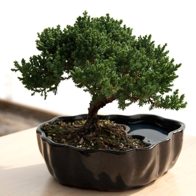 Cultivate a Bonsai Tree