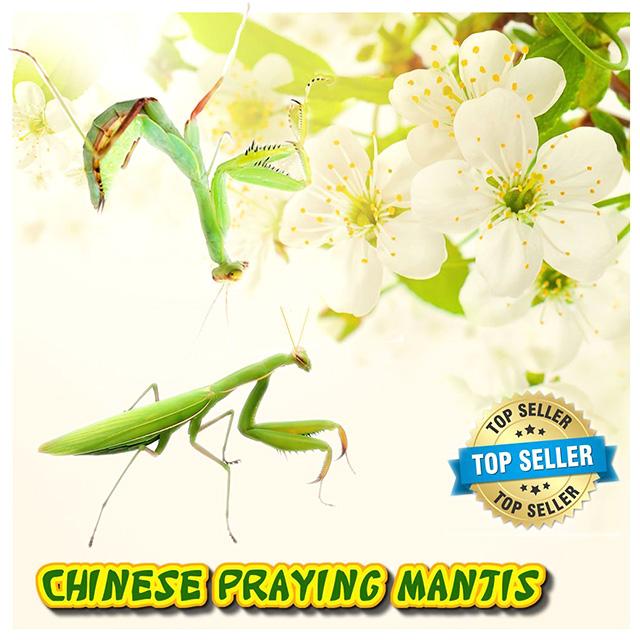 Live Praying Mantis